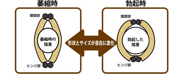 男性器の状態に合わせて形状とサイズが変化